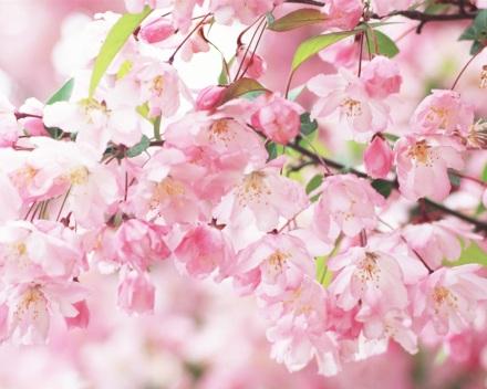 Cherry-blossom-petals-pink-spring_1280x1024